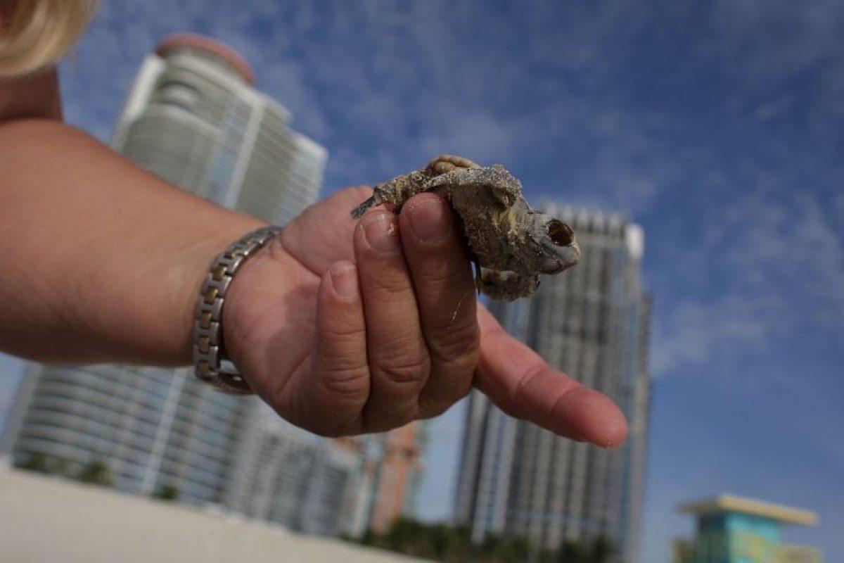 Se sabe que las tortugas marinas están distribuidas en muchos lugares alrededor del mundo, prefieren el trópico y las temperaturas subtropicales. Foto:Getty Images. Imagen Por:
