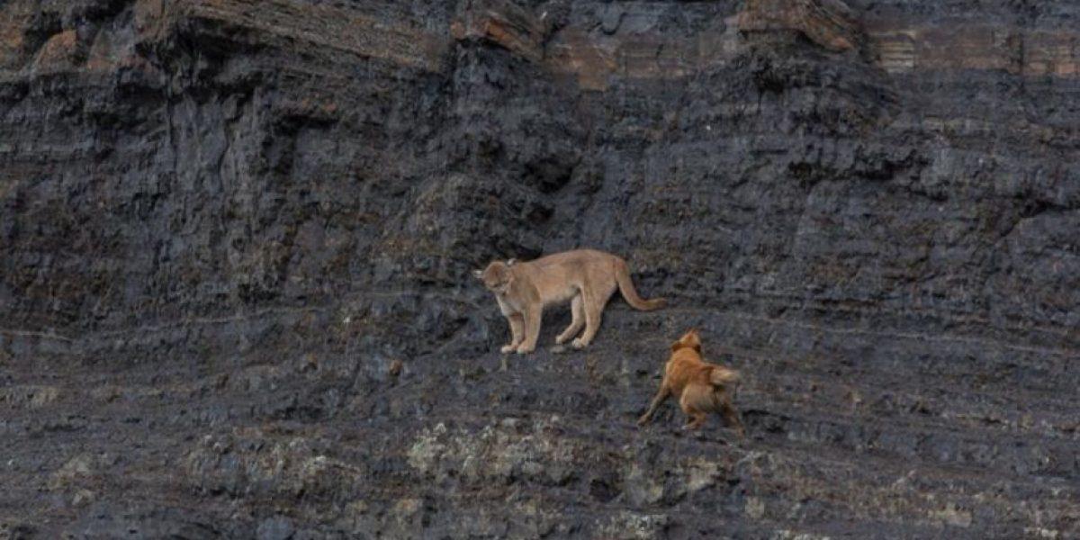 Investigan feroz ataque de perros a puma en Torres del Paine