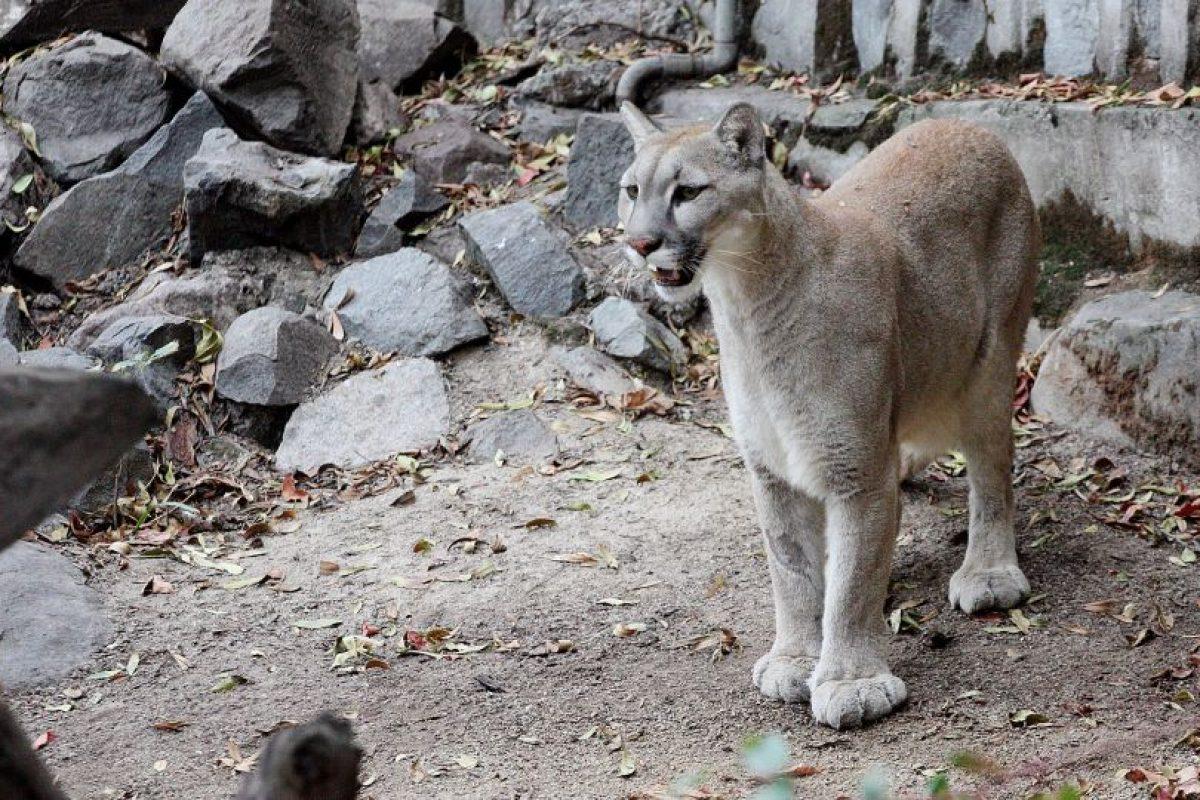 Conocido también como león de montaña, el puma (Felis concolor) está protegido por la ley en Chile, pero sigue siendo víctima de cazadores clandestinos que lo persiguen hasta sus ultimos reductos en la cordillera de los Andes. Foto:Agencia UNO / Imagen Referncial. Imagen Por: