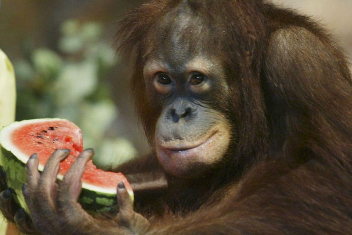 El psicólogo Harlow tomó a un par de monos y los separó de sus madres, dejándolos con madres sustitutas. Una de ellas estaba hecha de metal, con un bote de comida para que los monos pudieran comer; la otra estaba hecha de tela de toalla y sin alimento. El resultado fue que los monos pasaron más tiempo con la mamá de tela que con la de metal, probando que es más importante el afecto que el sustento. Foto:Getty. Imagen Por: