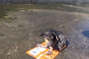 """Lo encontraron los voluntarios de """"Hope for Paws"""". Le cortaron una pata. Foto:Youtube/Hope for Paws. Imagen Por:"""