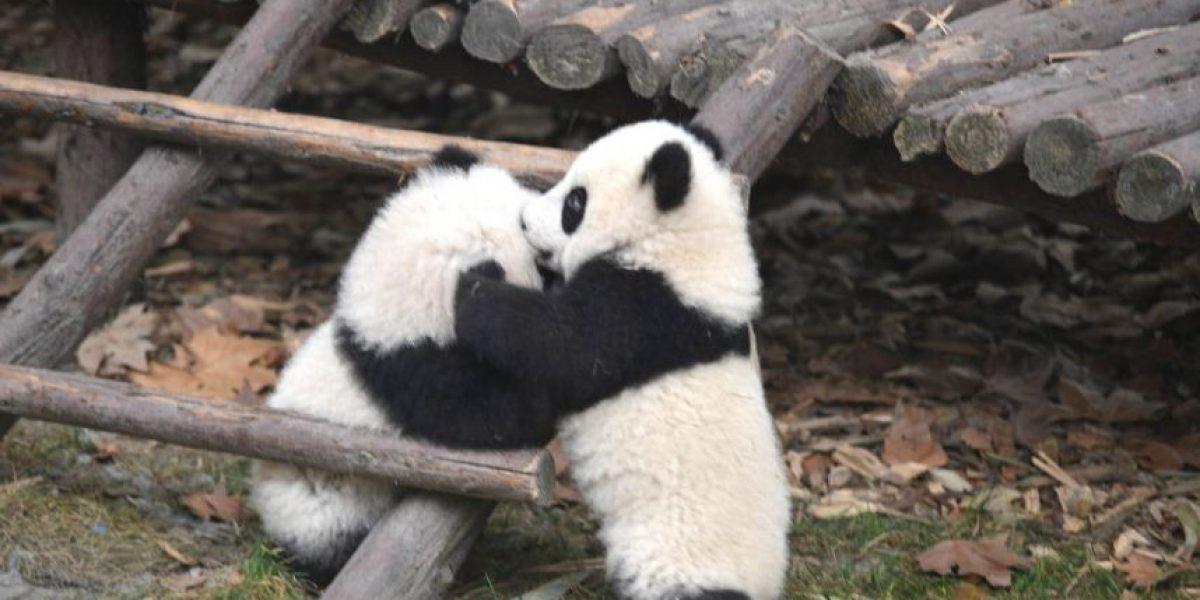 VIDEO: Mira cómo esta mamá panda enseña lucha a su cachorro