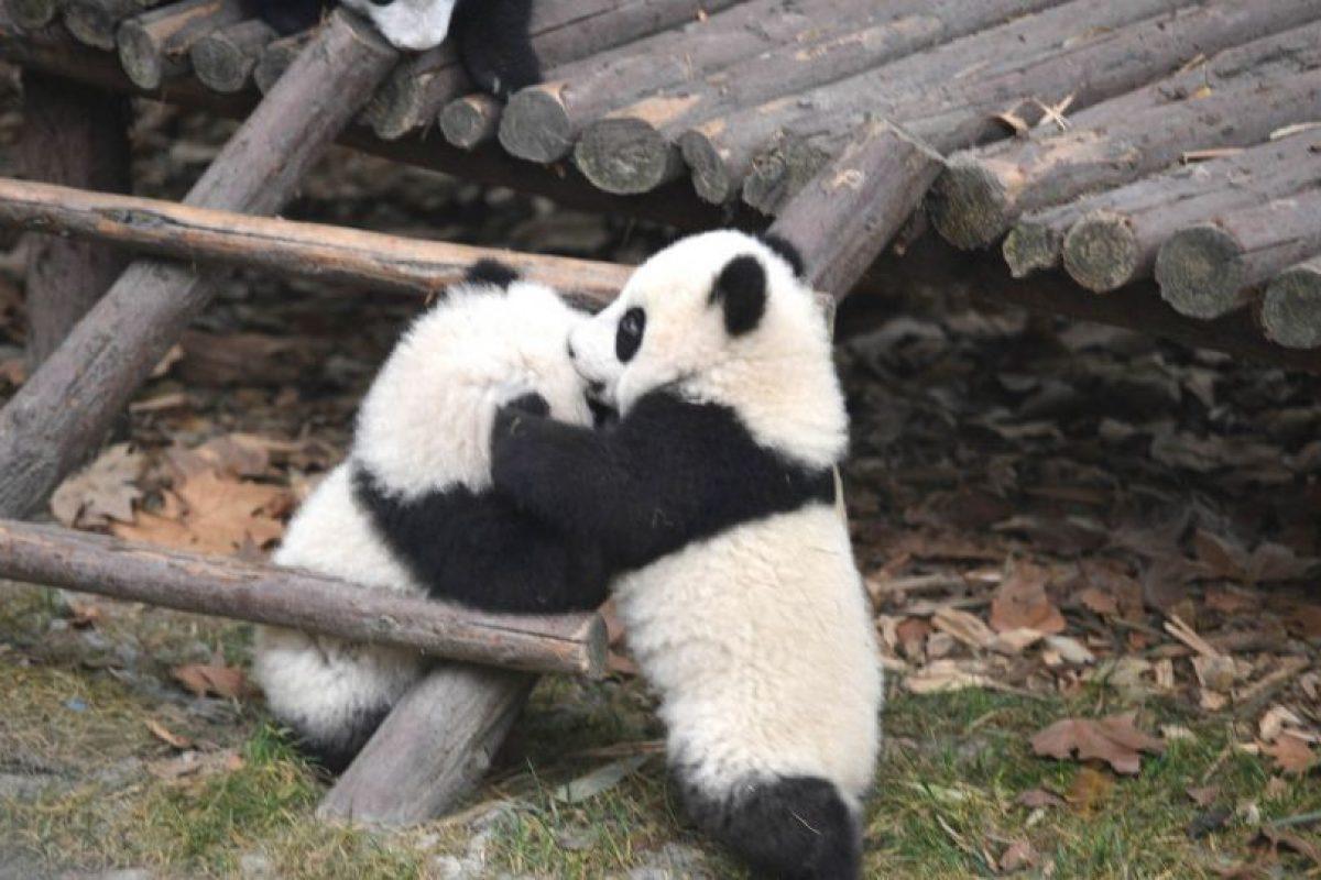 Los pandas siempre han estado en el gusto de la gente. Por eso, te presentamos los pandas más famosos. Foto:Getty. Imagen Por: