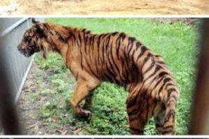 El peor zoológico del mundo: El zoológico de Surabaya, Indonesia. En enero se encontró a un león africano estrangulado en su jaula, ya que sufría de dolores estomacales. Pero este no fue el único caso: el año pasado, más de 40 animales murieron en el mismo zoológico. A una jirafa se le encontró plástico en su estómago y a un tigre, comida con formaldehído. La investigación en el zoológico reveló que muchos animales vivían en condiciones miserables, entre ellos un elefante que estaba encadenado y que tenía úlceras. Luego de la muerte del león, miles de peticiones han pedido el cierre del lugar. Foto:Oddee. Imagen Por: