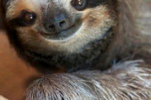 Los perezosos son mamíferos que comen hojas, esto hace que tengan poca energía y caminen con dificultad en el suelo. Foto:Pinterest. Imagen Por: