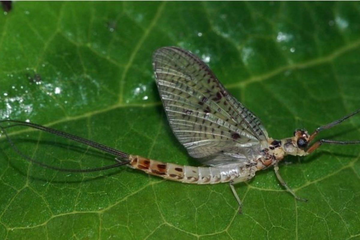 Es una ninfa efímera. Es un animal que tiene 3 mil especies en el mundo. Seguramente, Lyndon aspiró al insecto cuando dormía. Cuando este emergió, ya era adulto Foto:Wikimedia. Imagen Por: