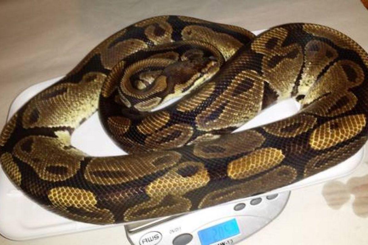 Una serpiente de dos kilos. Foto:vía Craiglist. Imagen Por: