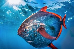 La Administración Nacional Oceánica y Atmosférica de Estados Unidos, descubrió al primer pez con sangre caliente. Foto:Vía swfsc.noaa.gov. Imagen Por: