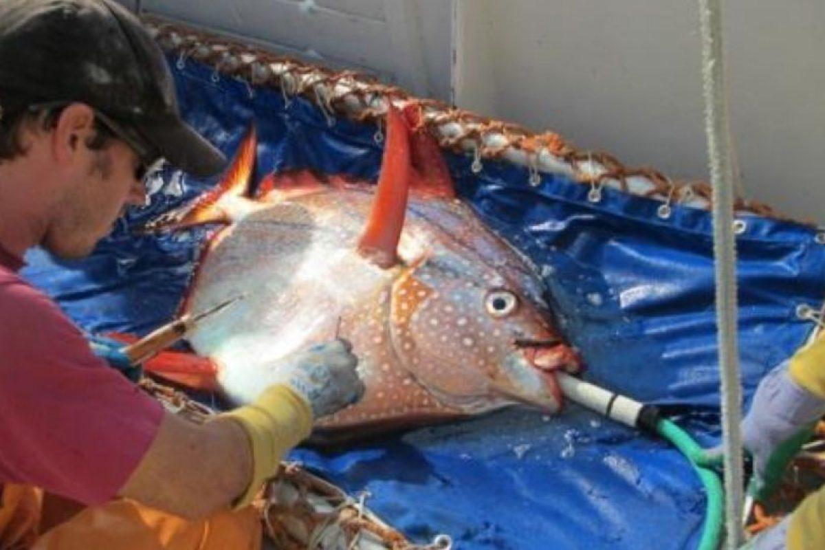 El pez opah o pez luna es aproximadamente del tamaño de un gran neumático de automóvil. Foto:Vía swfsc.noaa.gov. Imagen Por: