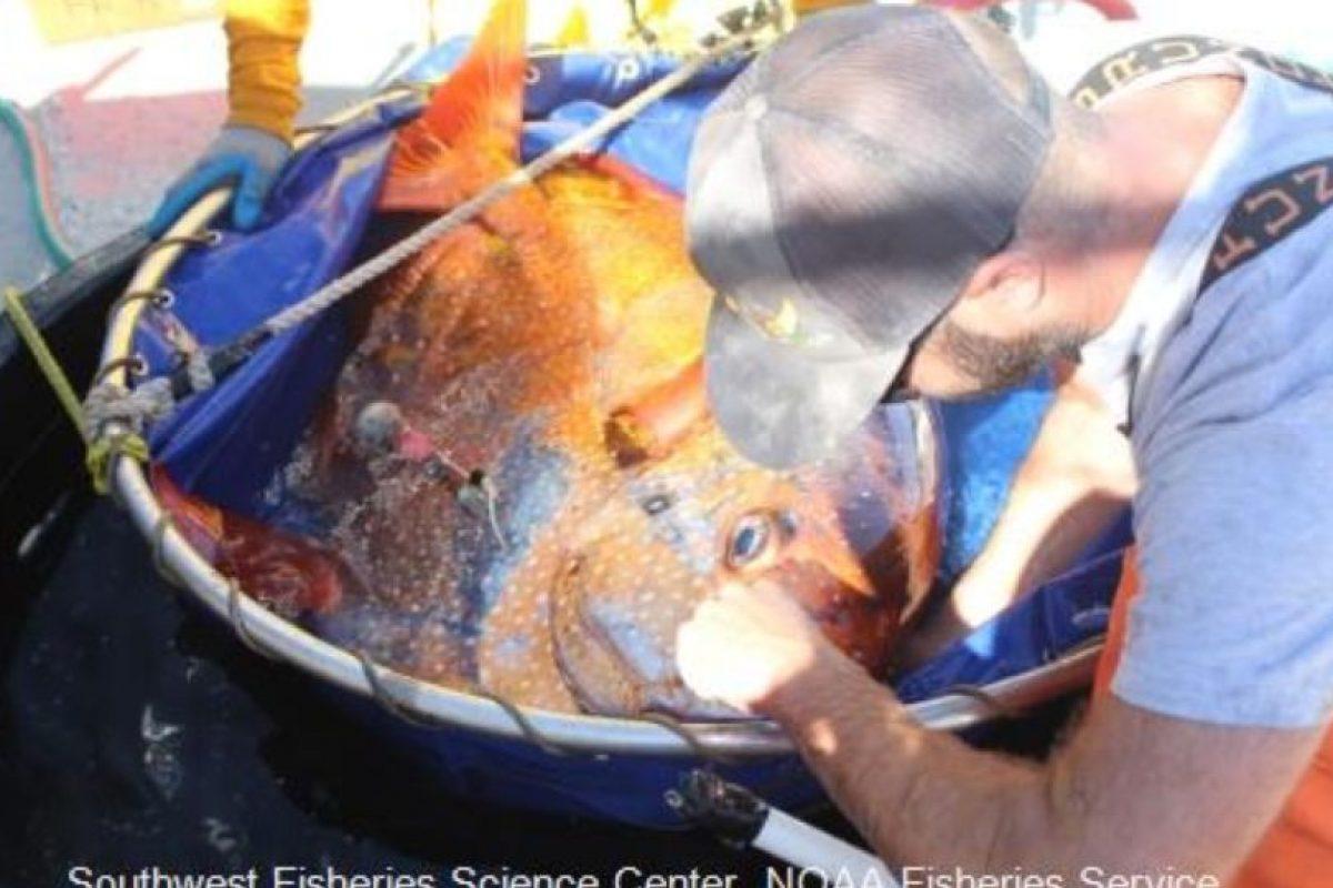 NOAA Fisheries tuvieron capturado a un pez opah durante una campaña de investigación. Foto:Vía swfsc.noaa.gov. Imagen Por: