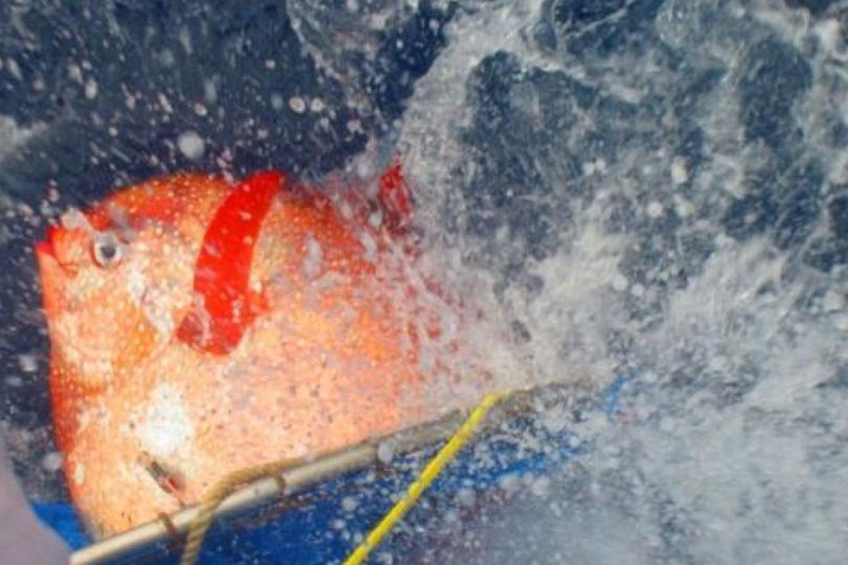 Un pez opah es liberado con sensores para rastrear sus temperaturas. Foto:Vía swfsc.noaa.gov. Imagen Por: