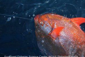 Este tipo de pez vive en zonas profundas y con poca luz Foto:Vía swfsc.noaa.gov. Imagen Por: