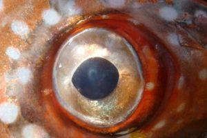 Gracias a su sangre caiente puede ver con mayor claridad. Foto:Vía swfsc.noaa.gov. Imagen Por: