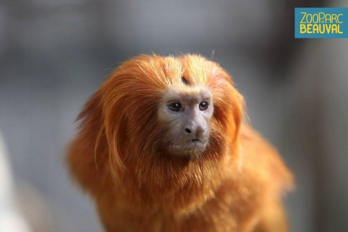 La policía francesa busca 17 monos de especies raras robados el fin de semana en el zoológico de Beauval, al sur de París. Foto:Vía facebook.com/zoobeauval. Imagen Por: