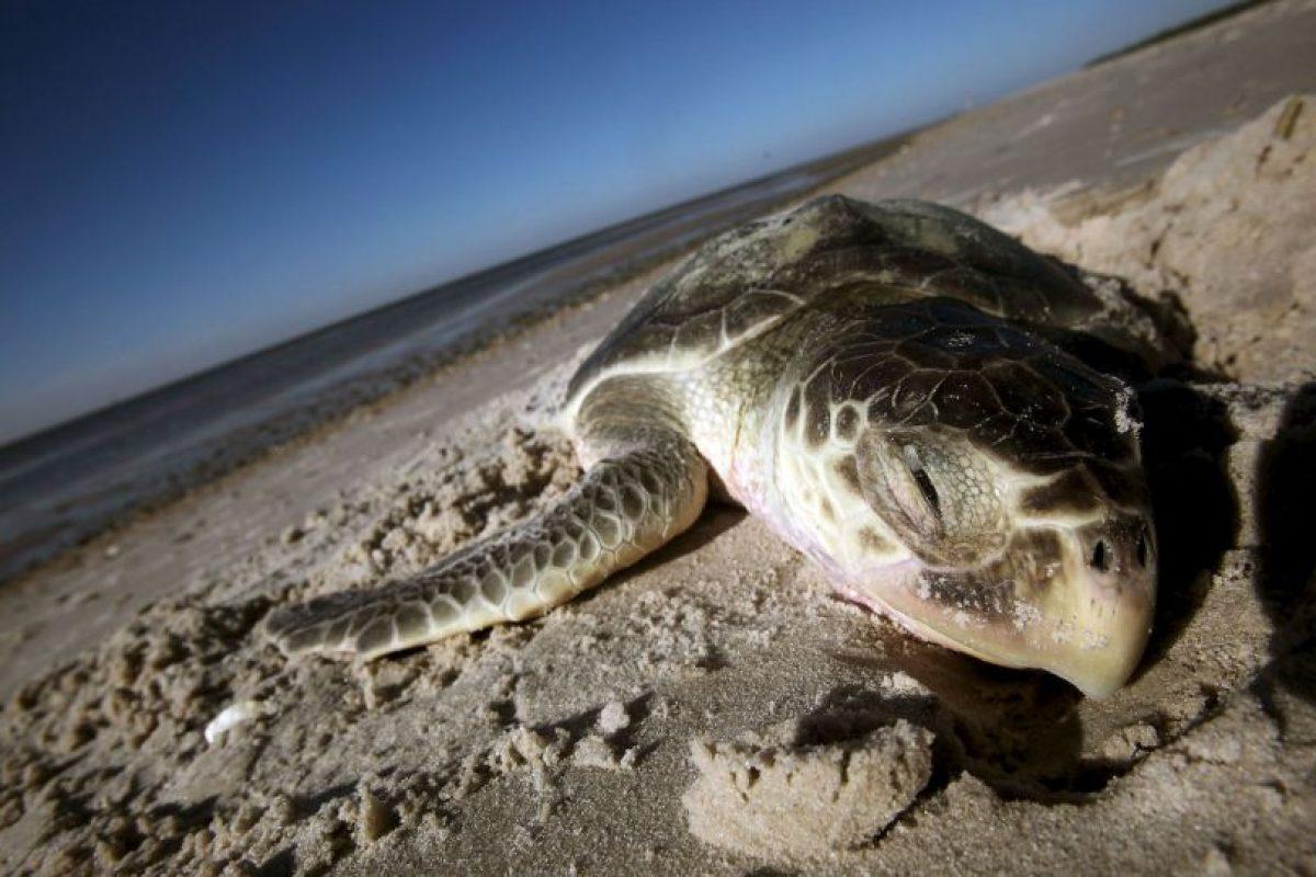 Lamentablemente la tortuga marina es un animal muy buscado por el hombre, ya que puede aprovechar todo de ella: carne, caparazón, piel y huevos Foto:Getty Images. Imagen Por: