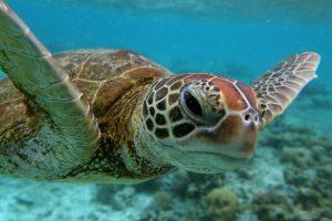 Las tortugas marinas forman parte de los quelonioideos (Clasificación científica: familia Chelonioidea) Foto:Getty Images. Imagen Por: