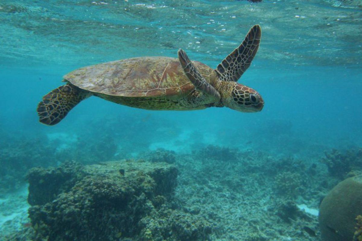 Las tortugas marinas pueden nadar a velocidades de 27 a 35 kilómetros por hora Foto:Getty Images. Imagen Por: