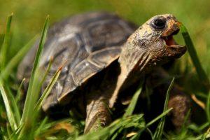 Su fuerte cuello está formado por ocho vértebras y no pueden meterla dentro del caparazón como las tortugas terrestres Foto:Getty Images. Imagen Por:
