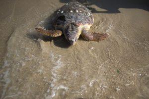 La mayoría de las especies de tortugas se encuentran en aguas poco profundas de bahías, lagunas y estuarios. Otras se adentran al mar abierto Foto:Getty Images. Imagen Por: