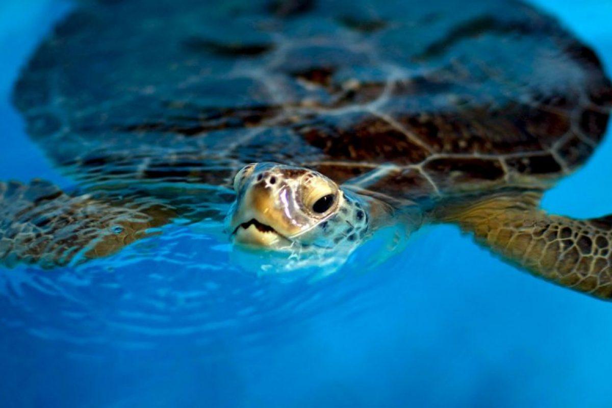 Estas pueden nadar y contener la respiración por diez minutos para luego subir a la superficie a respirar Foto:Getty Images. Imagen Por: