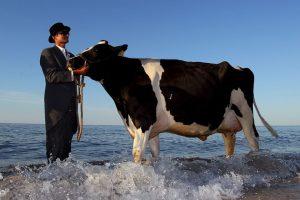Vacas en el mar Foto:Getty Images. Imagen Por: