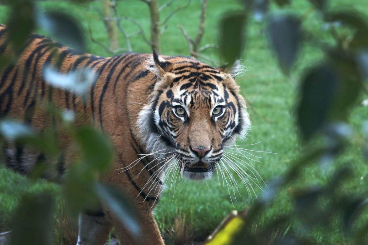 Dicho medio especifica que la población de estos tigres se ha reducido considerablemente a causa de la caza y de la deforestación. Foto:Getty Images. Imagen Por: