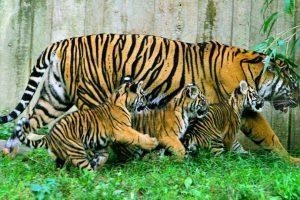 Según National Geogrephic, un rugido de un tigre se puede escuchar a tres kilómetros de distancia. Foto:Getty Images. Imagen Por: