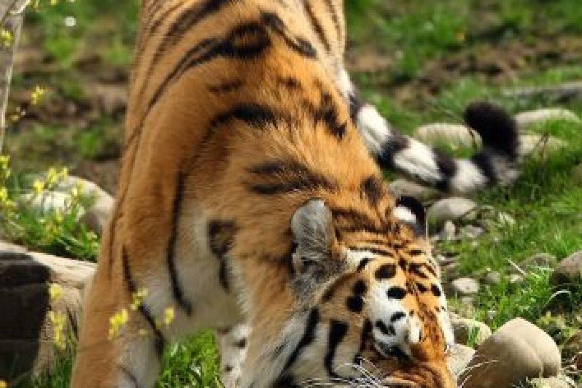 Según la revista estadounidense National Geographic estos mamíferos son conocidos por su fuerza. Foto:Getty Images. Imagen Por: