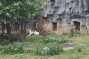 Los tigres de bengala son comunes en países como Nepal, India Banglaesh, Birminia, entre otros. Foto:Captura de pantalla. Imagen Por: