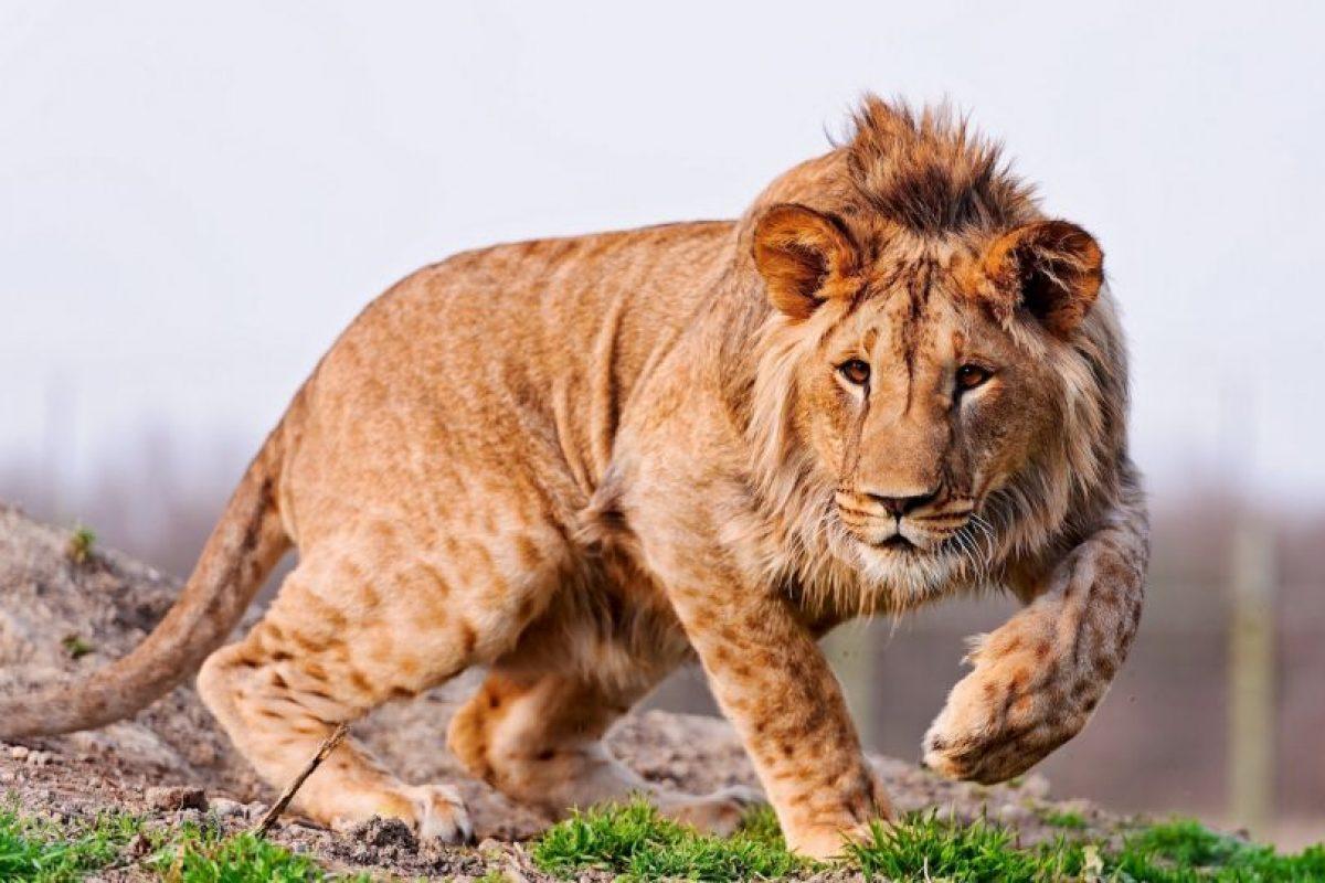 Supuestamente los reyes del reino animal. Foto:vía Wikipedia. Imagen Por: