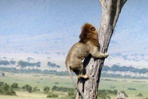 Esto le pasó a un pobre león que se aventuró a cazar en Kenia. Foto:vía Barcroft Media. Imagen Por: