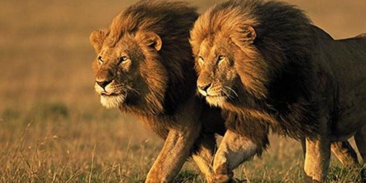 FOTOS: Este es el león más cobarde del mundo