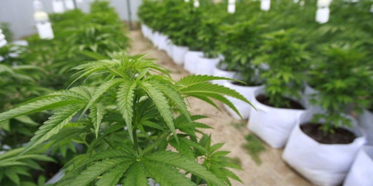 Treinta municipios muestran interés por cultivar marihuana