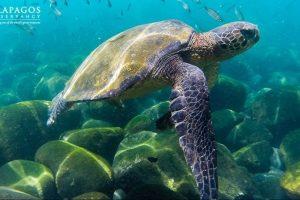 Tortuga verde de los Galápagos Foto:Facebook.com/GalapagosConservancy. Imagen Por:
