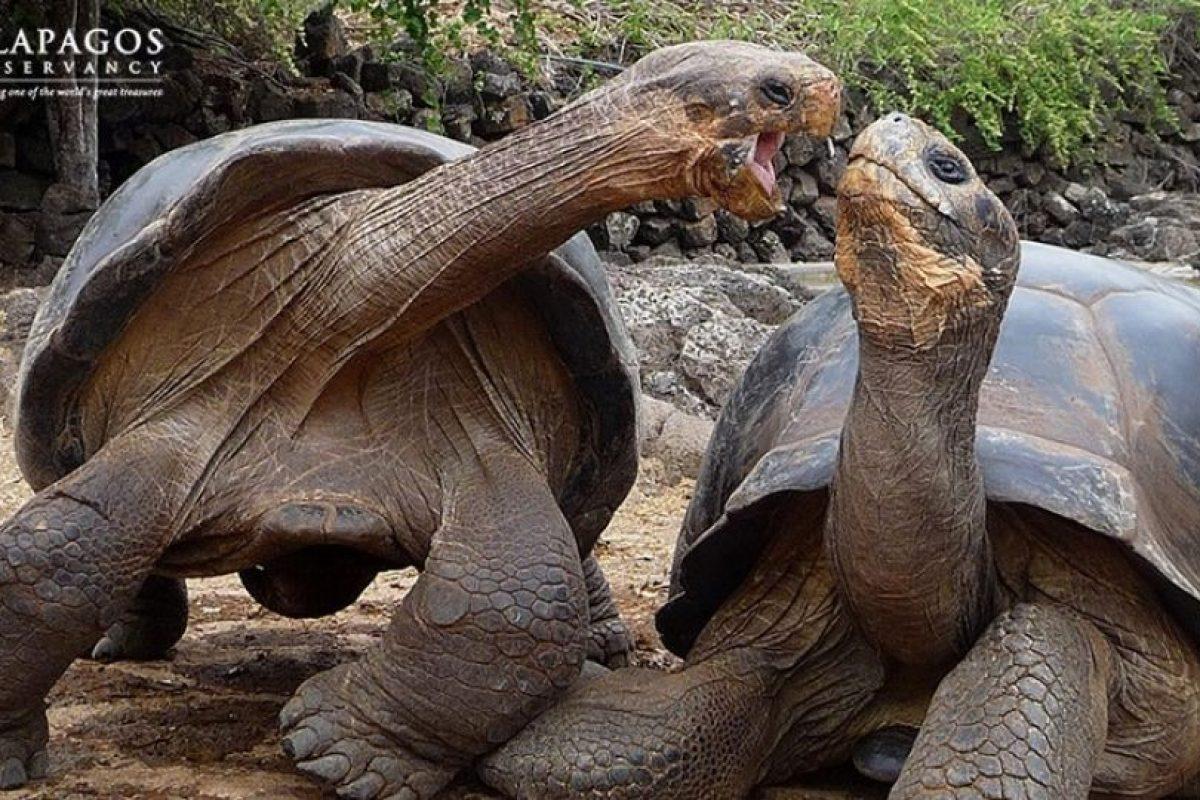 Tortugas gigantes de Galápagos Foto:Facebook.com/GalapagosConservancy. Imagen Por: