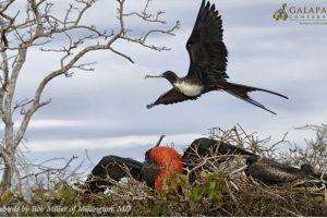 Fragatas Foto:Facebook.com/GalapagosConservancy. Imagen Por: