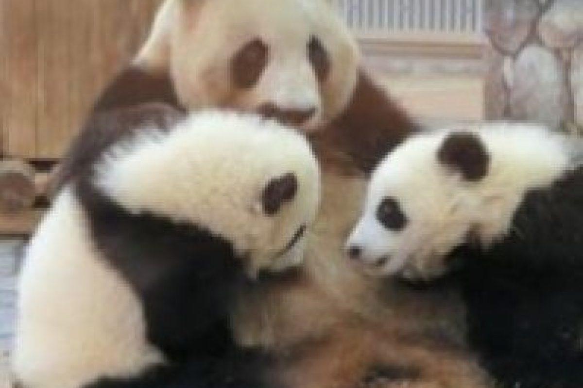 Mamá protegiendo a sus panditas Foto:IPanda. Imagen Por: