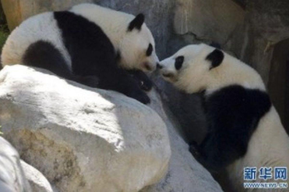 """Amor de pandas con un """"besito de esquimal"""" Foto:Ipanda. Imagen Por:"""