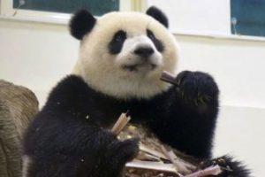 Comiendo mientras pone atención Foto:IPanda. Imagen Por: