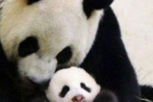Consolando a su pequeño Foto:PandaNewsorg. Imagen Por: