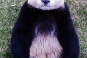 Modelo panda Foto:PandaNewsorg. Imagen Por: