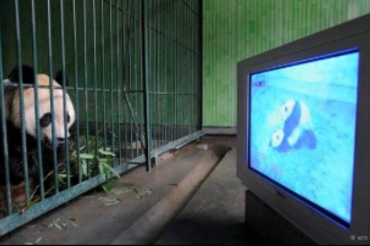 Panda informándose más respecto a su especie Foto:PandaNewsorg. Imagen Por: