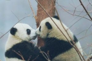 Amor de panditas Foto:PandaNewsorg. Imagen Por: