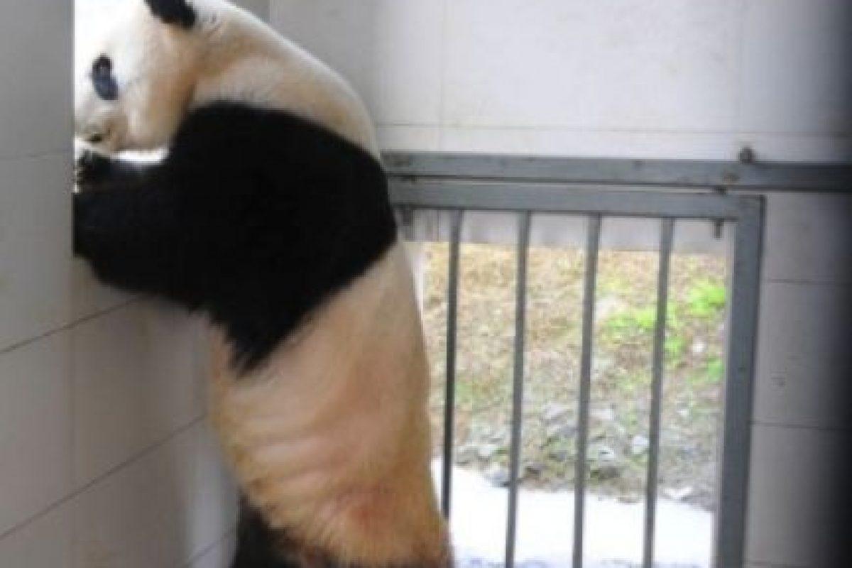 Observando a los demás panditas Foto:Ipanda. Imagen Por: