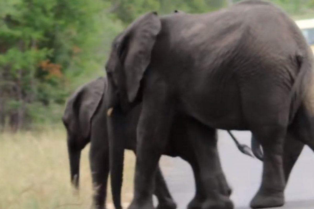 Al final, el pequeño retomó el camino. Foto:vía Youtube/Kruger Sightings. Imagen Por: