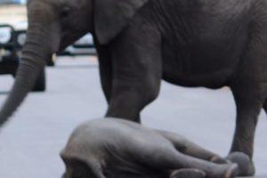 De pronto, llegó un elefante más grande para reanimarlo. Foto:vía Youtube/Kruger Sightings. Imagen Por: