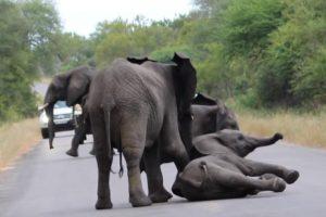 El primero que llegó se quedó con otro y luchó para levantarlo. Foto:vía Youtube/Kruger Sightings. Imagen Por: