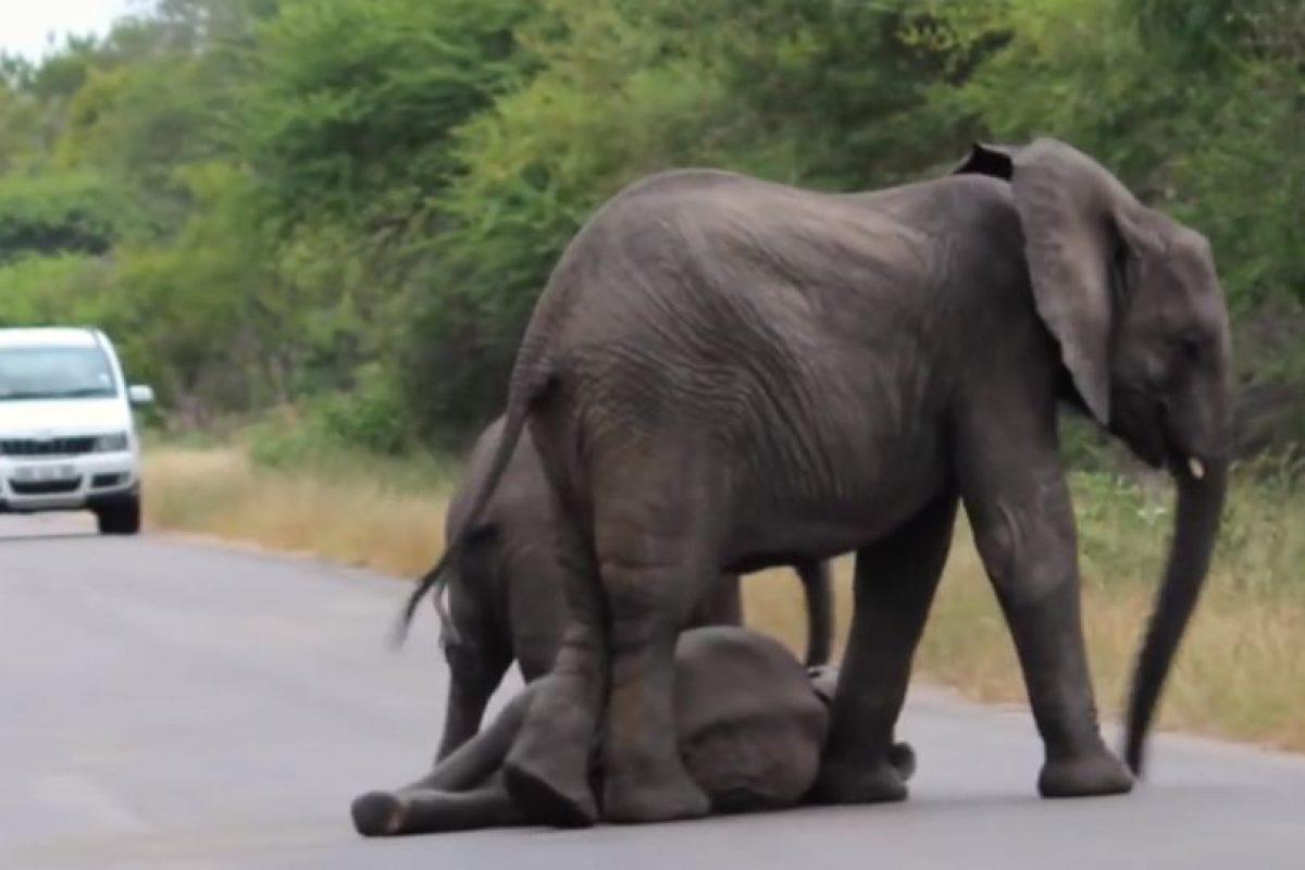 Estaba con otro más pequeño y lo protegieron. Foto:vía Youtube/Kruger Sightings. Imagen Por: