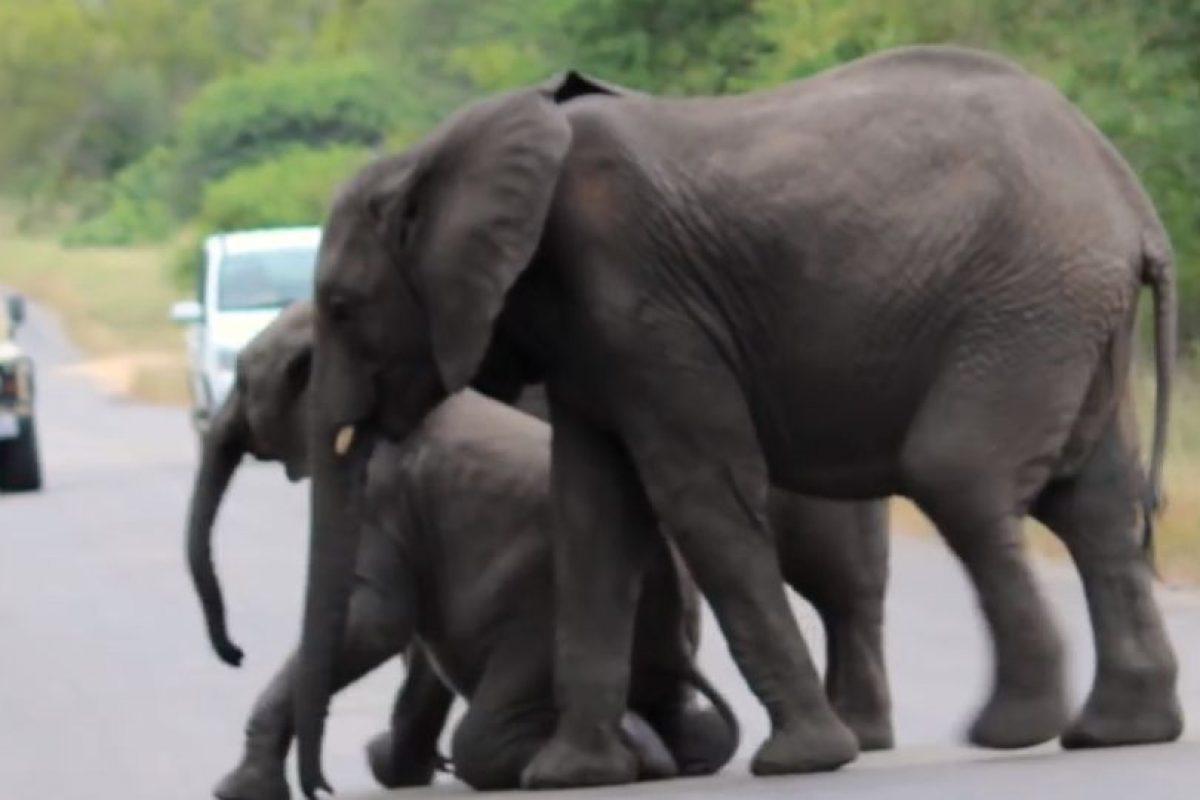 Hasta que logró pararlo. Foto:vía Youtube/Kruger Sightings. Imagen Por: