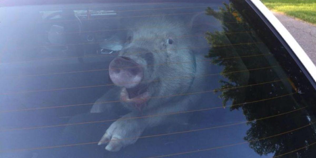 VIDEO: Este cerdo tuvo que ser